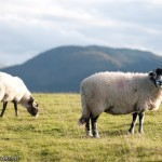 Sheeps at the Castlerigg stones circle